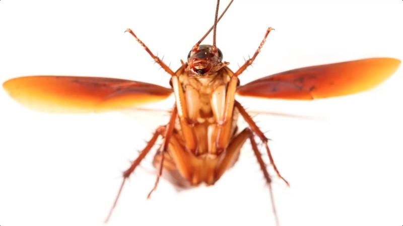 vliegende kakkerlakken