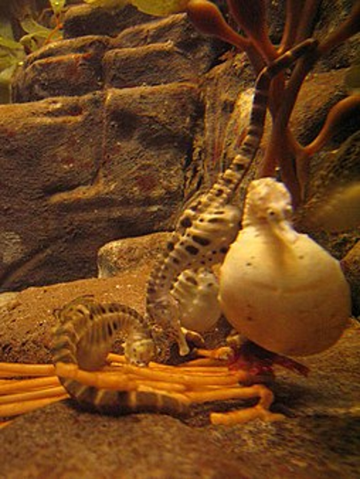 zwanger zeepaardje