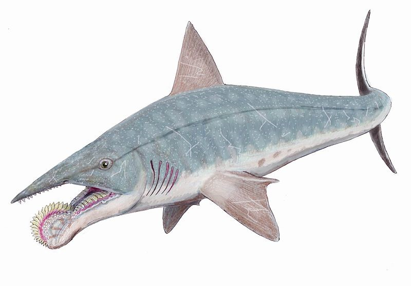 Helicoprion2
