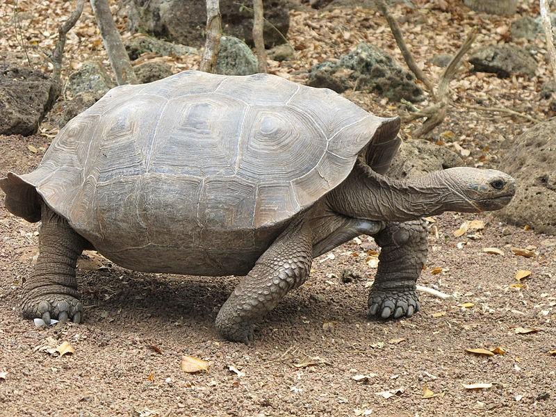 Galapagos schildpad 2