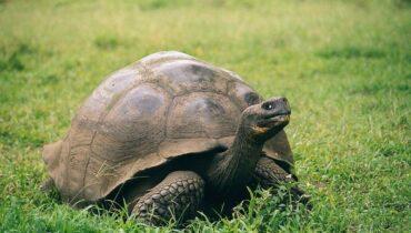 Galapagos schildpad 3