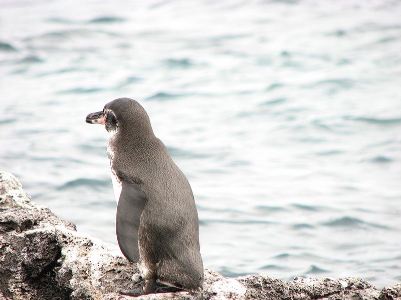 Galapagospinguïn