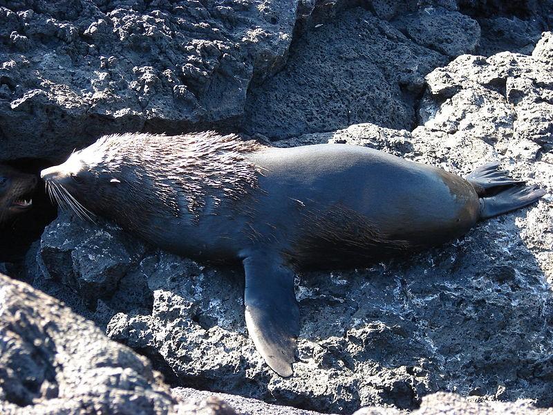 Galapagoszeebeer 2