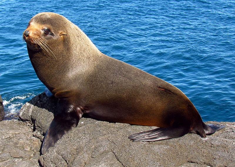 Galapagoszeebeer