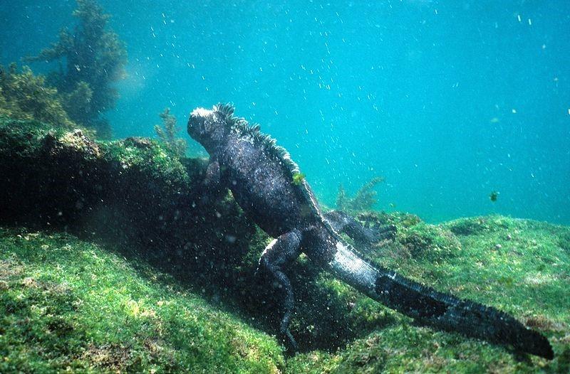 Zeeleguaan onder water