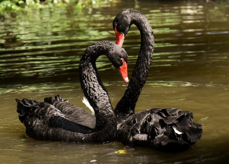 Zwarte zwaan