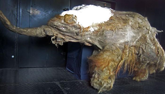 gevonden mammoetten