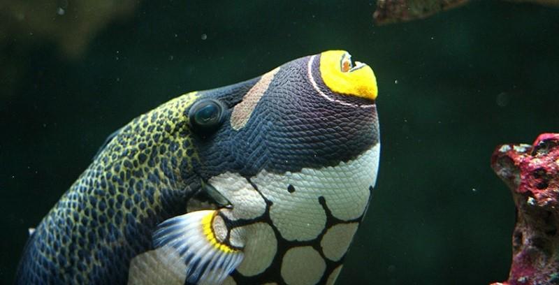 Trekkervissen