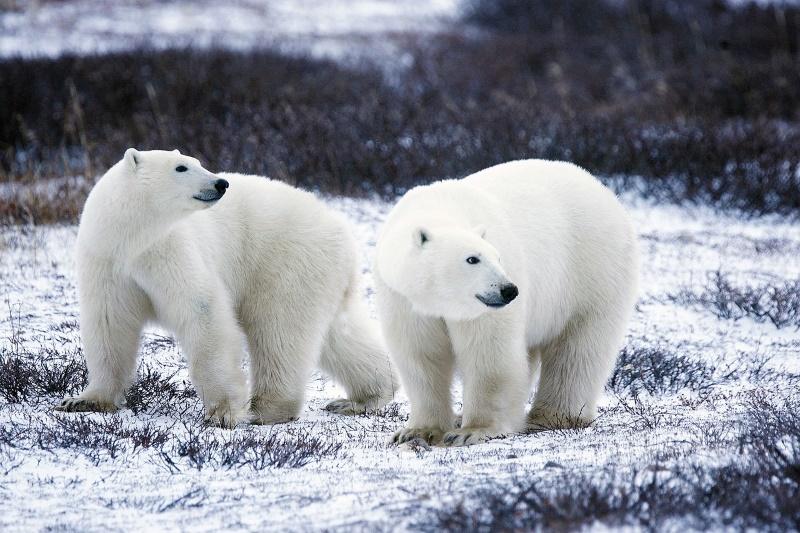ijsbeer niet wit