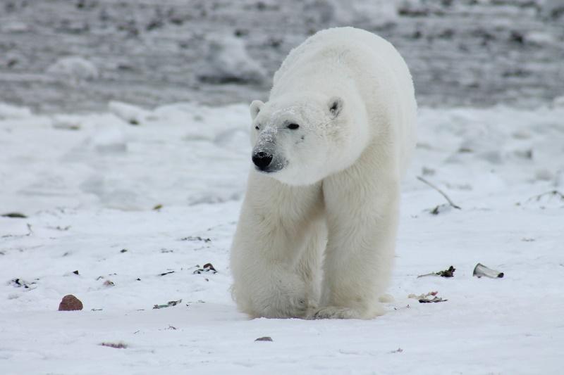 ijsbeer uitsterven bedreigd