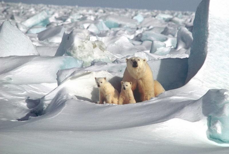 moeder ijsbeer