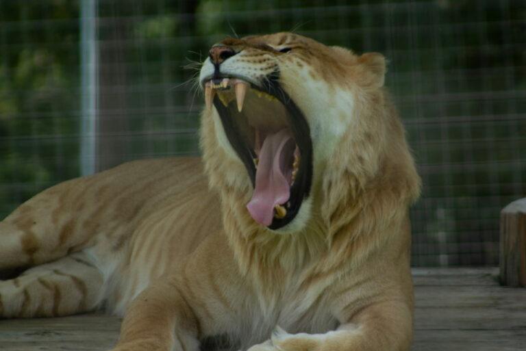 lijger leeuw tijger