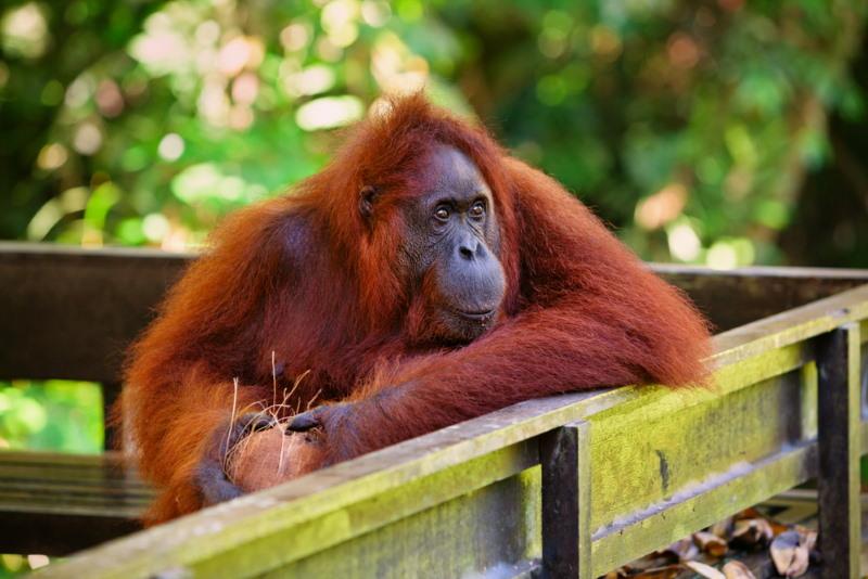 oude orang oetang