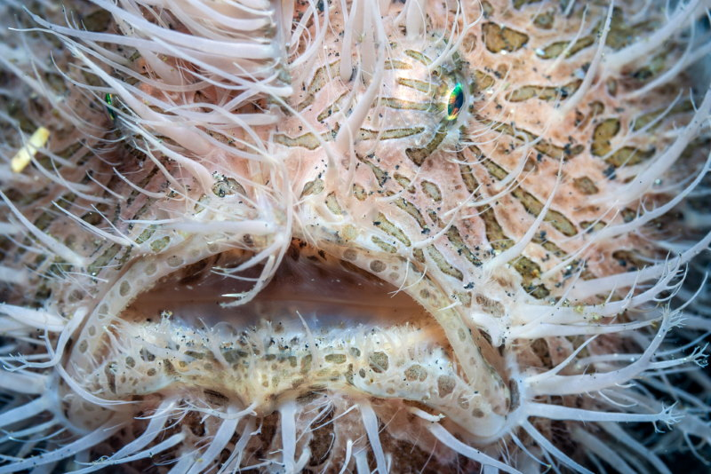 Antennarius striatus2