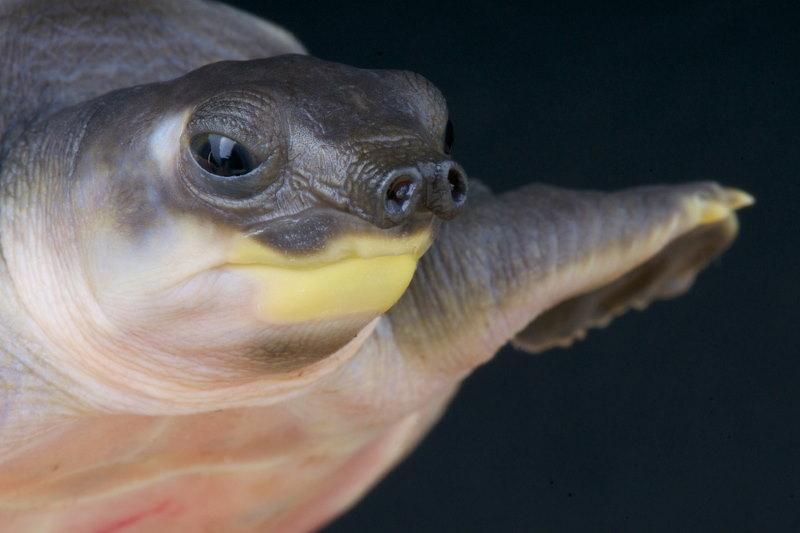 Nieuw Guinese tweeklauwschildpad