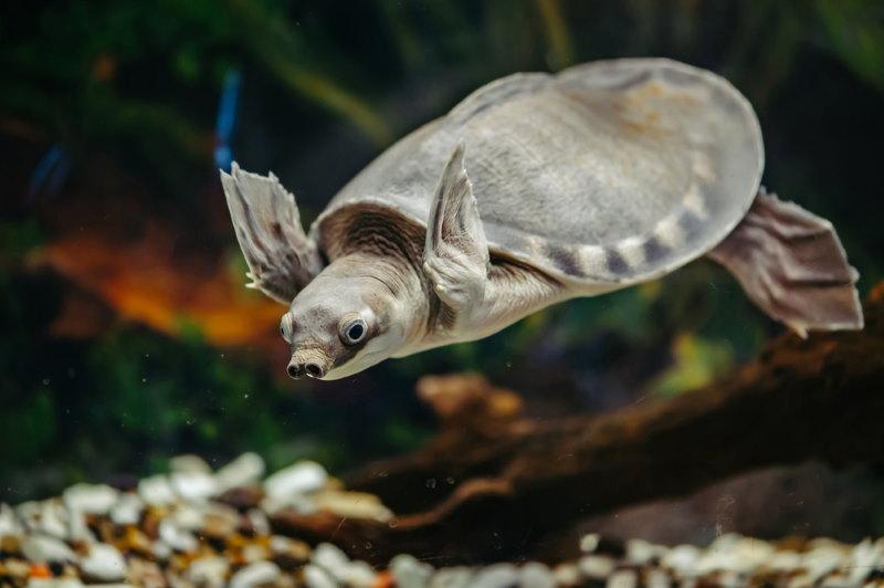 Nieuw Guinese tweeklauwschildpad2