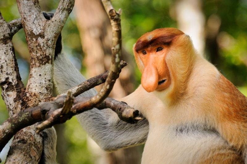 nederalndse aap