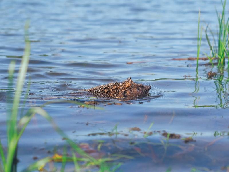 egel zwemmen