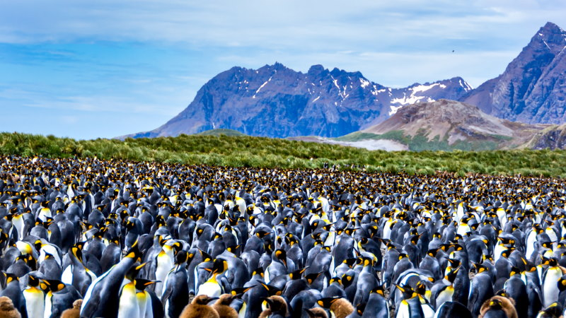 kolonie pinguins