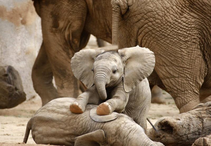 olifant kalf