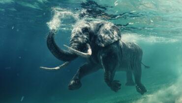 olifant zwemmen