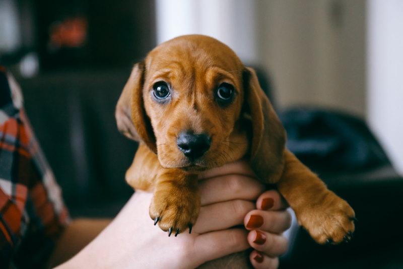 puppy hone