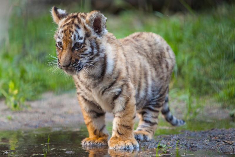 tijger welp