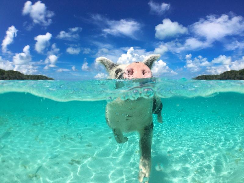 varken zwemmen
