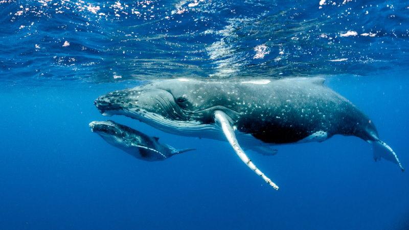 walvis kalf