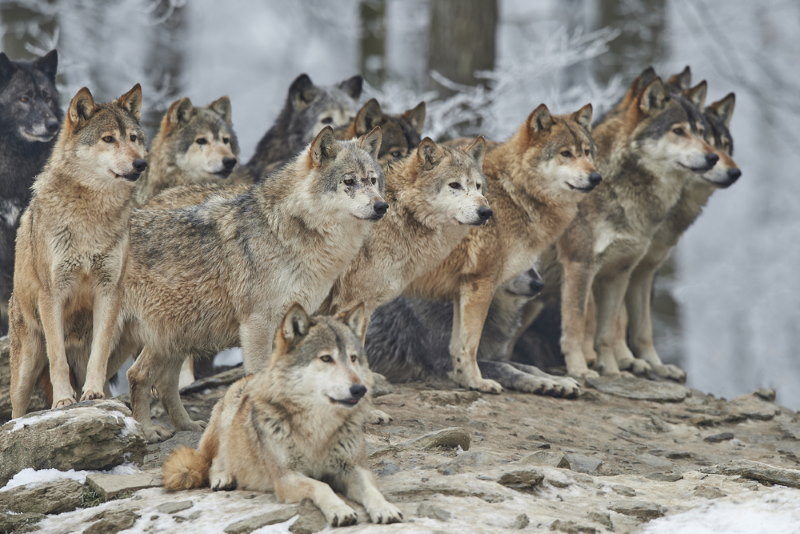 wolven roedel