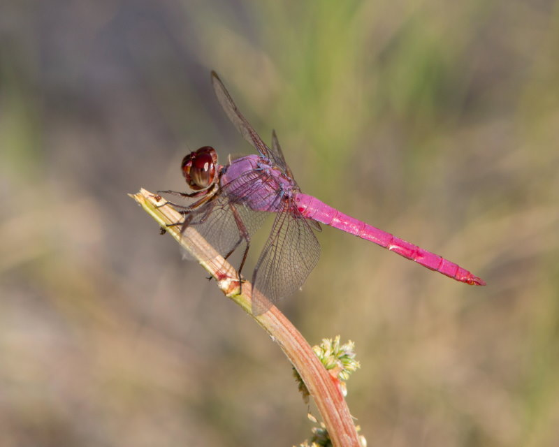 Orthemis ferruginea