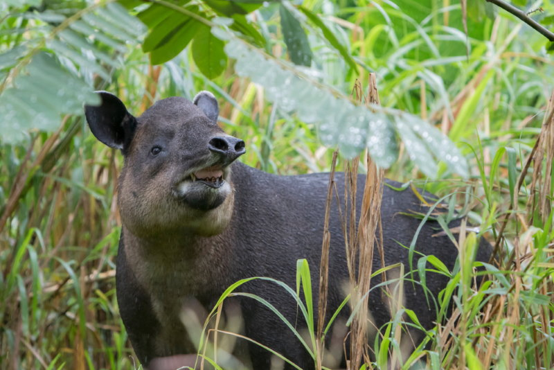 Tapir slurf