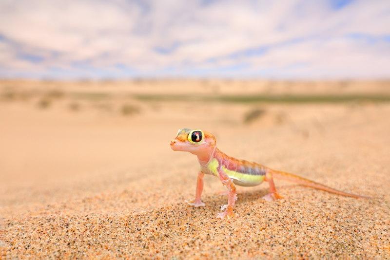 Woestijngekko