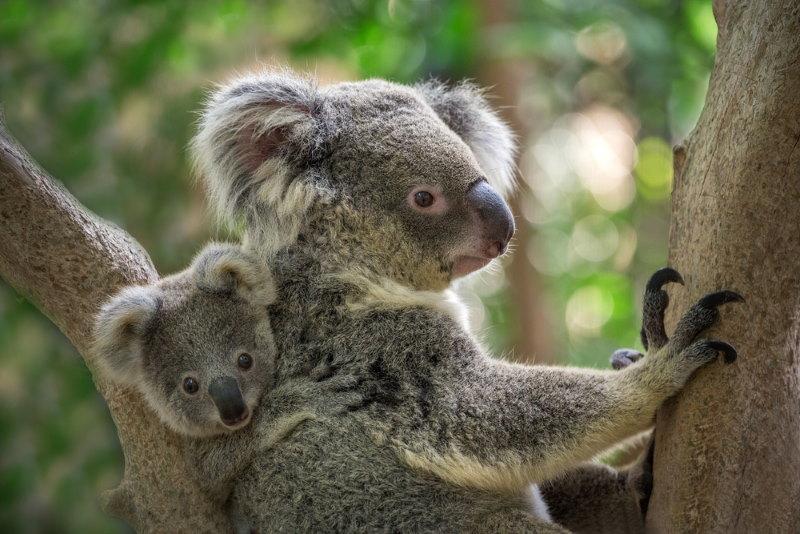 koala baby eet poep