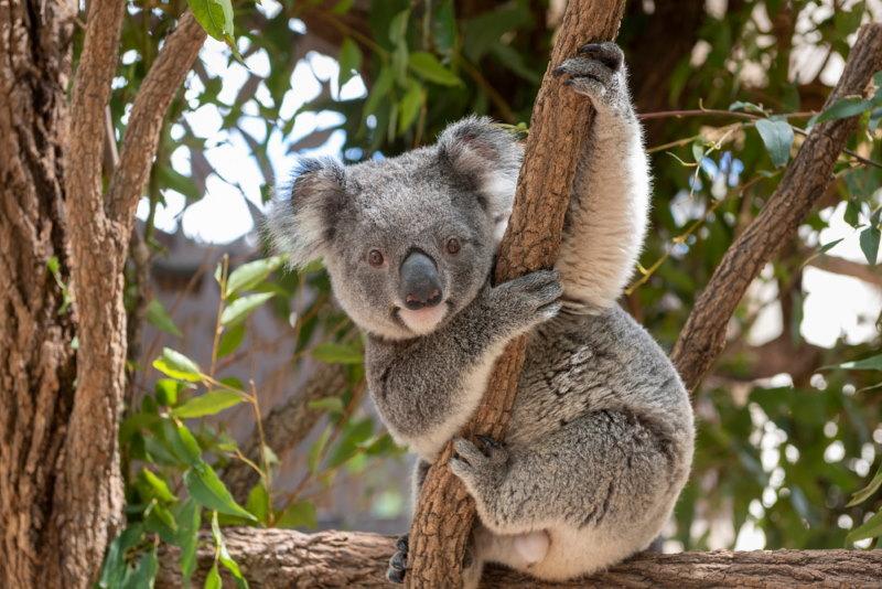 koala beer naam aboriginals