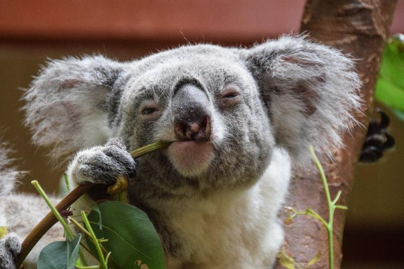 koala eten moeilijk