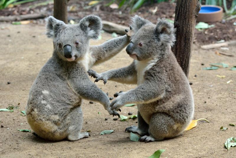 koala homosexueel