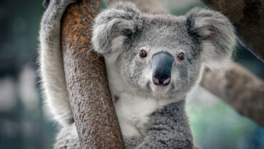 koala is geen beer