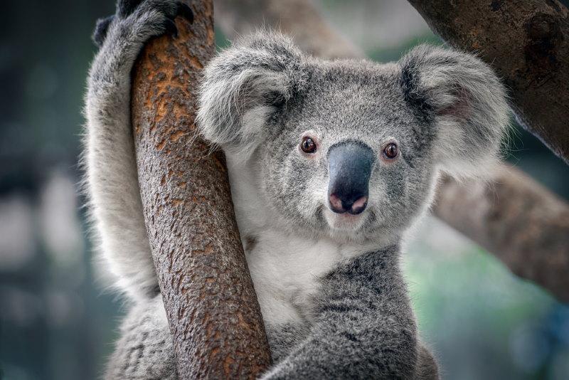 koala is geen beer