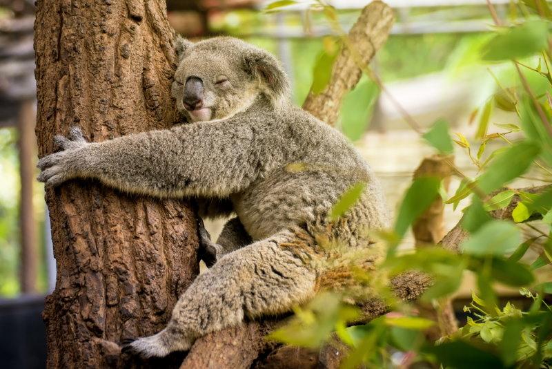 koala knuffelt met bomen