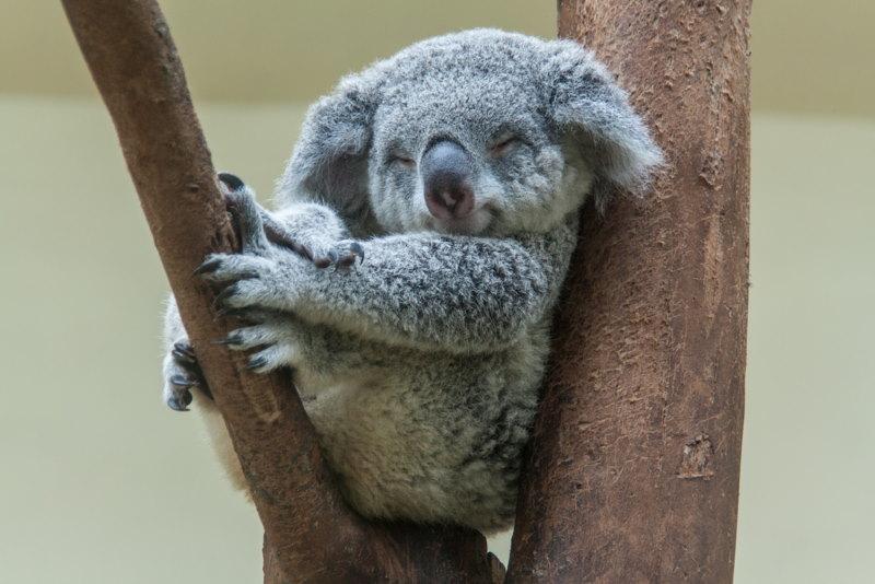 koala slapen