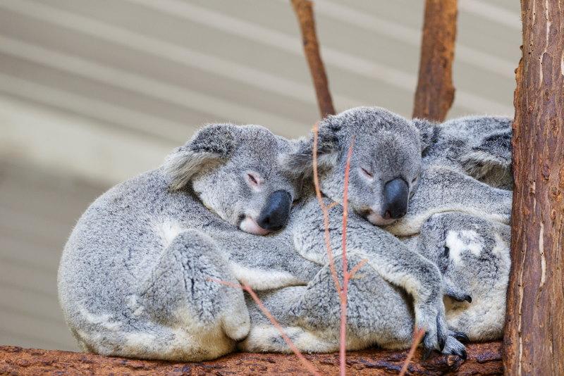 koala uitsterven bedreigd