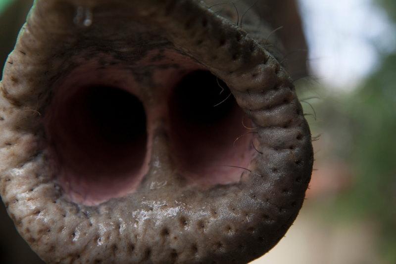 olifanten kunen goed ruiken
