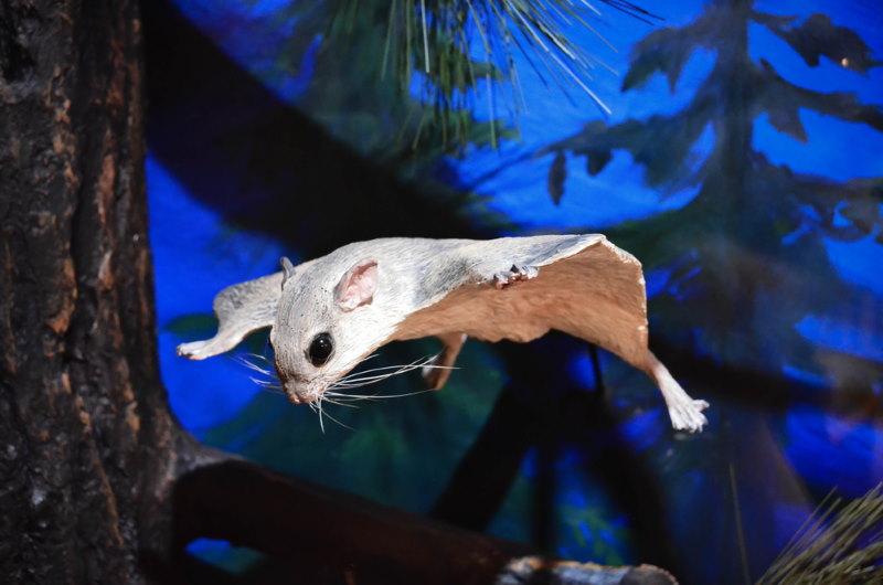 vliegende eekhoorn2