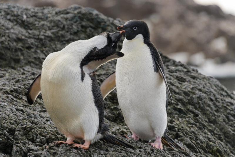 Adelie Pinguin op de zuidpool