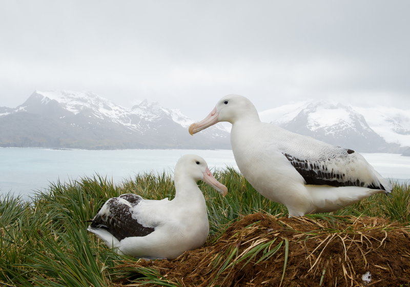 Grote Albatros zuipdool