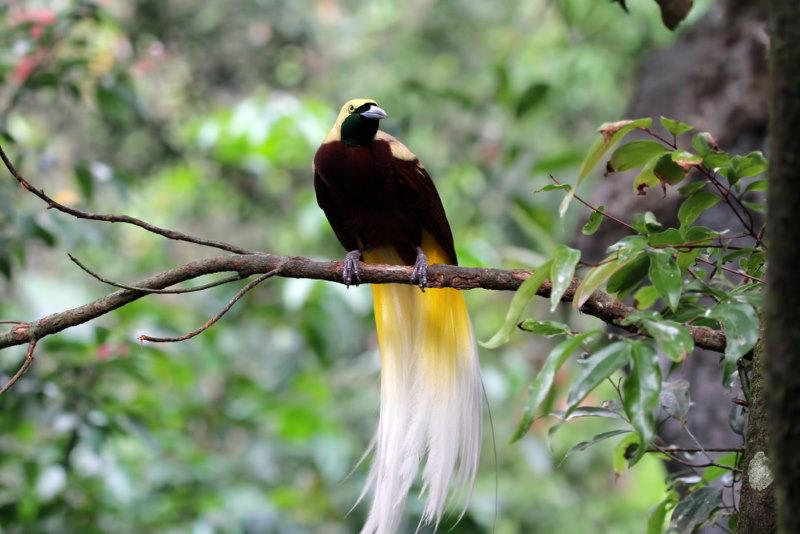 Grote paradijsvogel