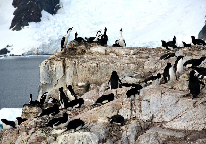 Leucocarbo vogels op de zuidpool