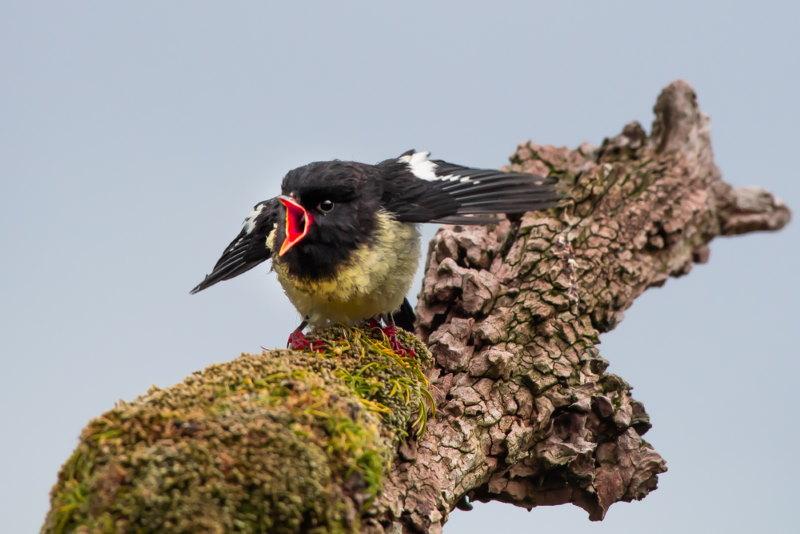 Maorivliegenvanger