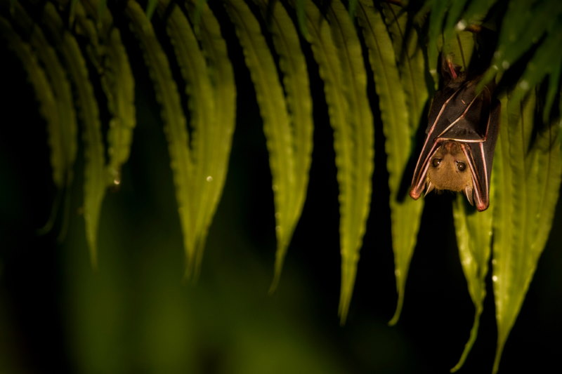 Nieuw Zeelandse vleermuis